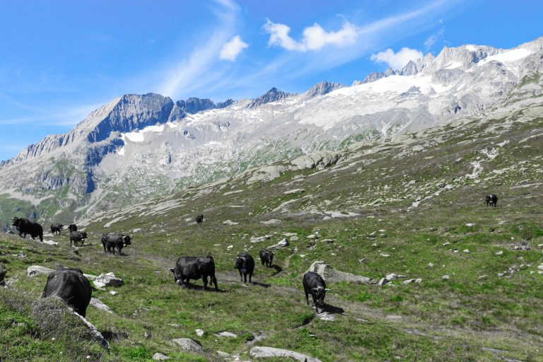 cattle-in-the-alps-PX4A3RR-2